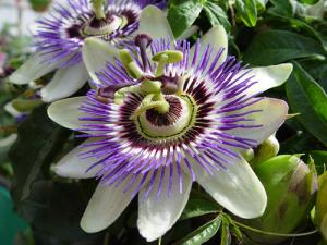 floareapasiunii